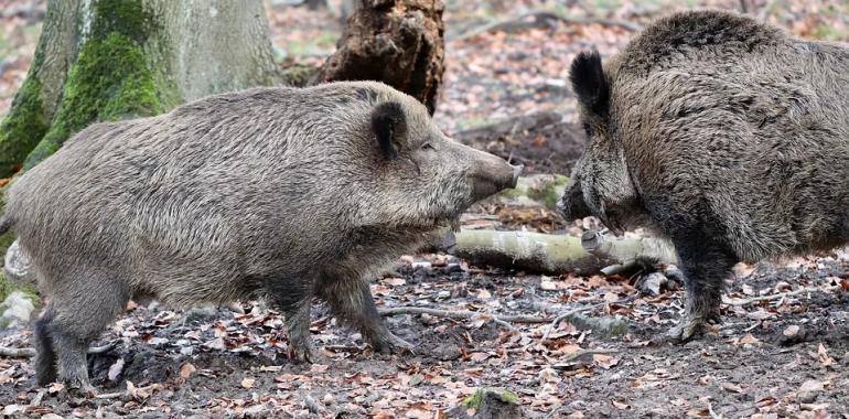 Podpisano specustawę o ASF. Według ekologów to zgoda na legalne znęcanie się nad zwierzętami